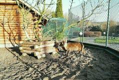 一点害羞的驯鹿活在农场 库存照片