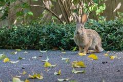 一点小兔开会保持了平衡,准备好 图库摄影