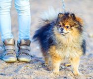 一点小狗波美丝毛狗在沙子和海滩背景站立在他的女主人的脚,小的脚旁边 滑稽的微笑的狗机智 免版税库存照片