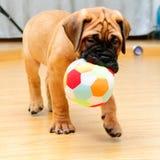 一点小狗bullmastiff 免版税库存图片