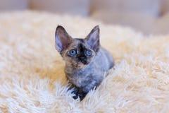 一点小猫德文郡雷克斯猫开会 免版税图库摄影