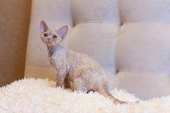 一点小猫德文郡雷克斯猫开会 免版税库存照片