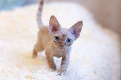 一点小猫德文郡雷克斯猫开会 库存图片