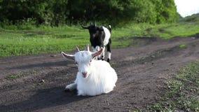 一点山羊在草甸吃草 看照相机的白色山羊