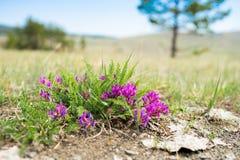 一点干草原的紫色花 紫色大草原花在夏天 库存图片