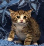 一点惊吓了镶边棕色和白色小猫 免版税图库摄影