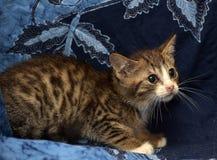 一点惊吓了镶边棕色和白色小猫 免版税库存图片