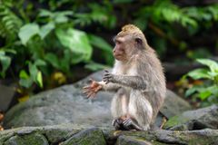 一点拍他的手的猴子坐一个岩石在密林 免版税库存图片