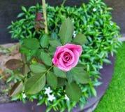 一点新桃红色的玫瑰增长 免版税库存照片