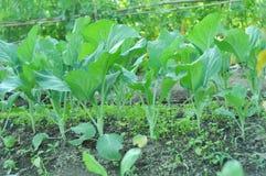 一点无头甘蓝植物在庭院里 库存照片