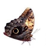 一点明亮的蝴蝶褐色和黑色 免版税库存照片