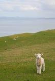 一点春天羊羔在奥克兰,新西兰附近的地方公园 免版税库存照片