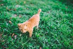 一点棕色小猫走 免版税库存照片