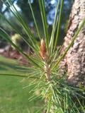 一点植物锥体 库存图片