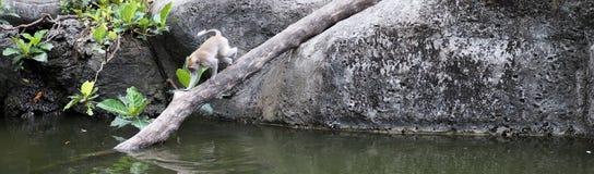 一点浇灌的在途中短尾猿在巴厘岛,印度尼西亚 免版税库存照片