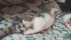 一点滑稽录影新出生小猫睡觉 睡觉在床生活方式的一条毯子的逗人喜爱的宠物小猫在卧室 股票录像