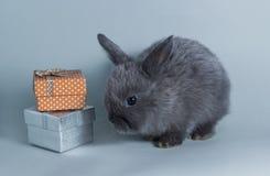 一点灰色兔子在小的礼物盒附近坐灰色背景 库存照片