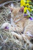 一点猫sleepingin柳条筐 库存图片