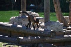 一点猴子在马德里,西班牙动物园里  库存照片