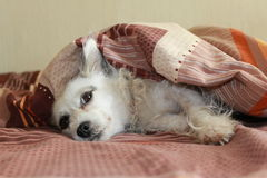 一点白色狗睡觉 库存图片