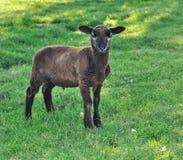 一点眉头羊羔 库存照片