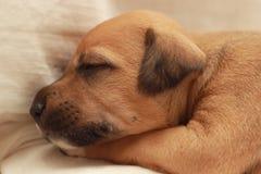 一点睡觉在妇女手上的逗人喜爱的狗 图库摄影