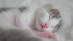 一点睡觉在床生活方式的逗人喜爱的新出生的小猫 小的小猫嗅和抽搐在扔的梦想和 股票录像