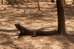 一点科莫多巨蜥 图库摄影