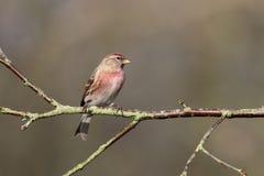 一点红弱鸟, Acanthis余兴节目 免版税库存照片