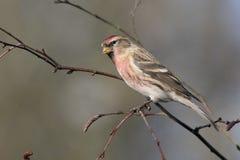 一点红弱鸟, Acanthis余兴节目 库存照片