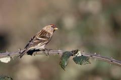一点红弱鸟, Acanthis余兴节目 库存图片