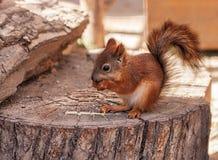 一点红松鼠吃 库存照片