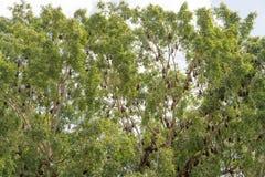 一点红色果蝠,狐蝠属scapulatus,树的殖民地 库存照片