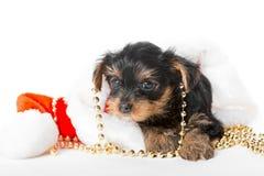 一点约克夏狗小狗和圣诞老人帽子 免版税库存图片