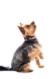 一点约克夏狗等待的食物 图库摄影