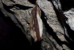 一点老鼠有耳的棒(Myotis blythii) 图库摄影