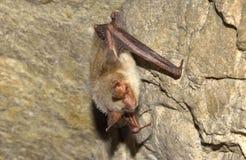 一点老鼠有耳的棒(Myotis blythii) 库存图片