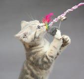 一点英国小猫大理石颜色和玩具 库存照片