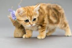 一点英国小猫大理石颜色和花 库存照片