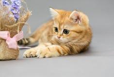 一点英国小猫大理石颜色和花 图库摄影