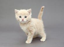 一点英国小猫灰棕色颜色 免版税库存照片