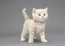一点英国小猫灰棕色颜色 图库摄影