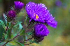 一点蓬松紫色菊花花秋天宏指令照片 免版税库存图片