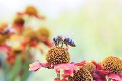 一点蜂蜜蜂在夏天收集在一朵花的花蜜 图库摄影