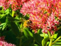 一点蜂蜜蜂 免版税库存图片