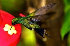 一点蜂鸟吃的宏指令 免版税图库摄影