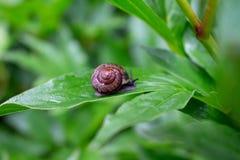 一点蜗牛在雨以后的庭院里 免版税库存照片