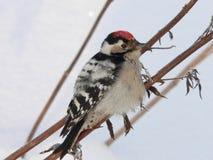 一点被察觉的啄木鸟 免版税库存照片
