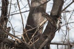 一点被察觉的啄木鸟 库存照片