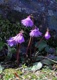 一点被装饰的响铃(soldanella alpina) 库存照片